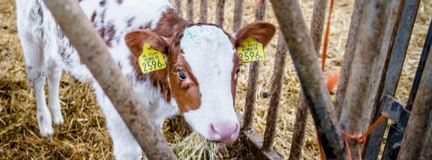 Waarom melkveehouders sjoemelen